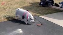 Jak zmotywować świnię do spacerów