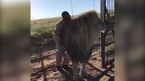 Jak zrelaksować ogromnego lwa?