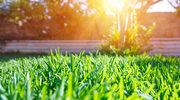Jak zwalczyć chwasty na trawniku?