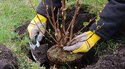 Jakie krzewy zasadzić przed zimą?