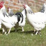 Japońskie jajka, których jedzenie może zapobiec nowotworom