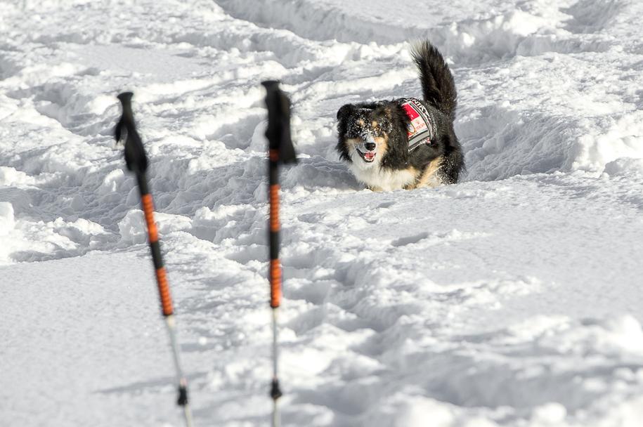 Jeden z psów lawinowych współpracujących z TOPR-em /foto. Materiał Prasowy /