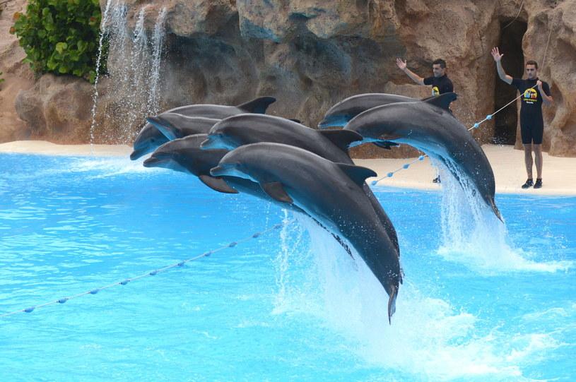 Jedną z atrakcji rozległego Loro Parque w Puerto de la Cruz jest pokaz tresury delfinów /123RF/PICSEL