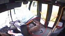 Jelonek w miejskim autobusie. Wpadł przez przednią szybę