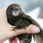 Jerzyki mogą latać nieprzerwanie przez 10 miesięcy