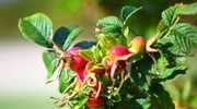 Jesień skarbnicą leczniczych roślin