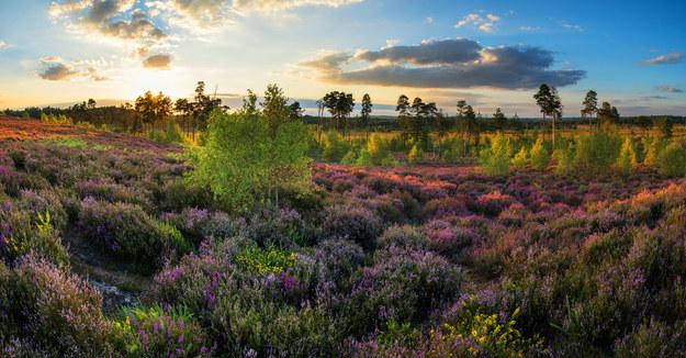 Jesienią wrzosy tworzą niezwykły kobierzec /123/RF PICSEL
