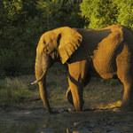 Już wiadomo, dlaczego słonie rzadko chorują na nowotwory