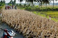 Kaczki zablokowały drogę