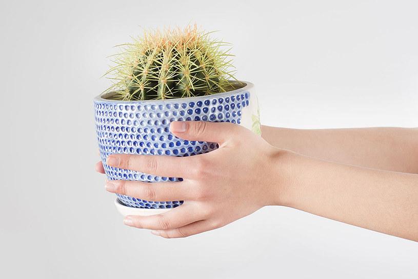 Kaktusy najlepiej przesadzać, gdy mają przesuszoną glebę, dlatego robimy to 2 tygodnie przed pobudką /123RF/PICSEL