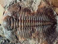Kambr, skamieniałość Paradoxis gracilis z okolic Skryje /Encyklopedia Internautica