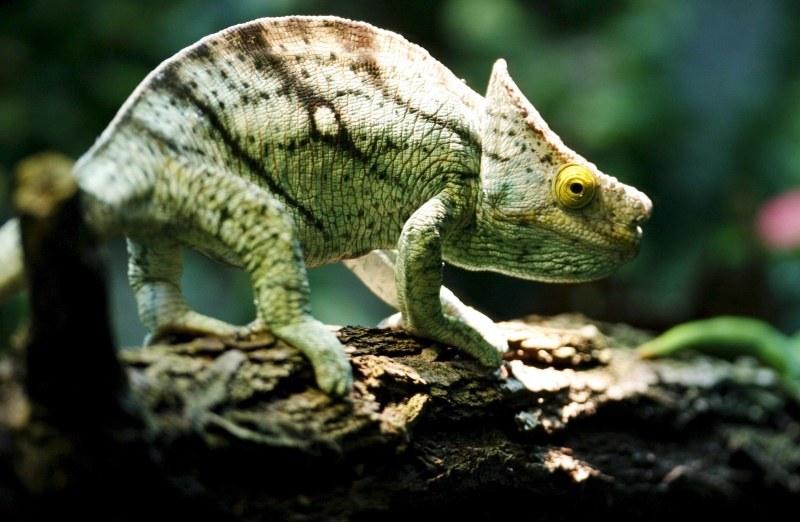 Kameleon upodabnia się do otoczenia /STEFFEN SCHMIDT /PAP/EPA