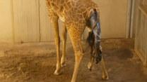Kamera zarejestrowała narodziny żyrafiątka
