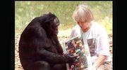 Kanzi - małpa, która mówi. Nie tylko w Wigilię