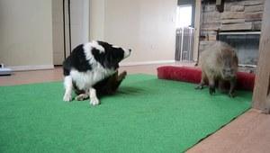 Kapibara i pies
