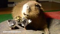 Kapibara zaprzyjaźniła się z kaczuszkami