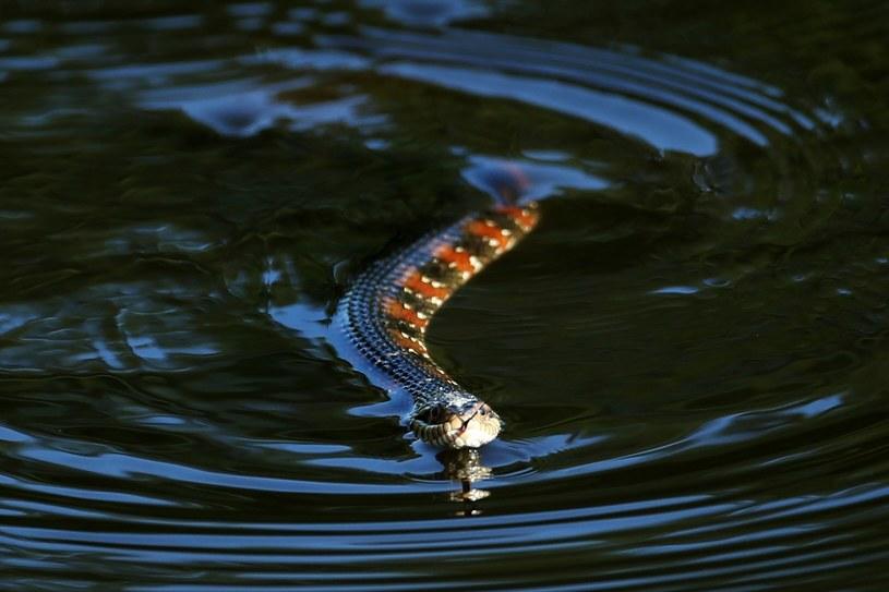Każdego roku z powodu ugryzienia węży w Indiach ginie 50 tysięcy ludzi. /AFP