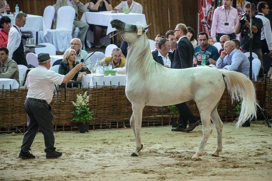 Klacz El Saghira została w ubiegłym roku sprzedana za 500 tys. euro / Wojciech Pacewicz    /PAP
