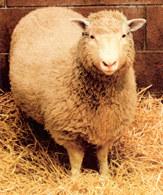 Klonowanie, owca Dolly /Encyklopedia Internautica