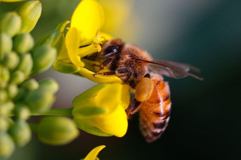 Kluczowe znaczenie dla wielkości upraw będzie miała populacja i różnorodność pszczół /123RF/PICSEL