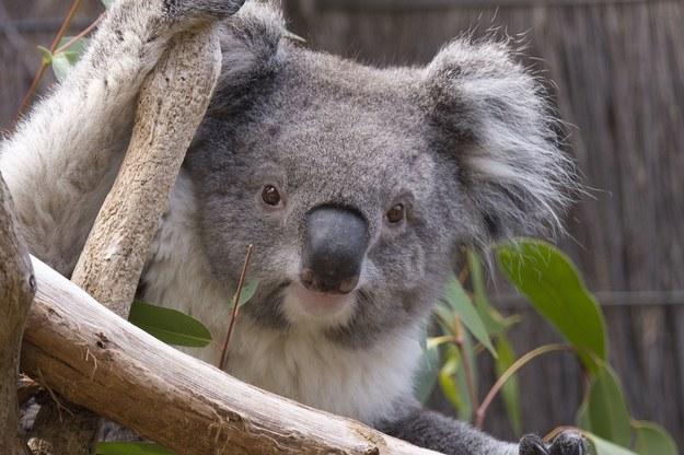 Koala pochodzi z rodziny kangurowatych /123/RF PICSEL