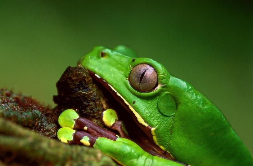 Kobiecie zaaplikowano na skórę wydzielinę żaby olbrzymiej z Puszczy Amazońskiej, czyli Kambo /Agencja FORUM