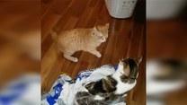 Kocia walka o foliową torbę. Kto wygra?