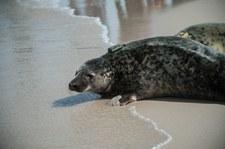 Kolejne martwe foki nad Bałtykiem. Jedna była oskalpowana