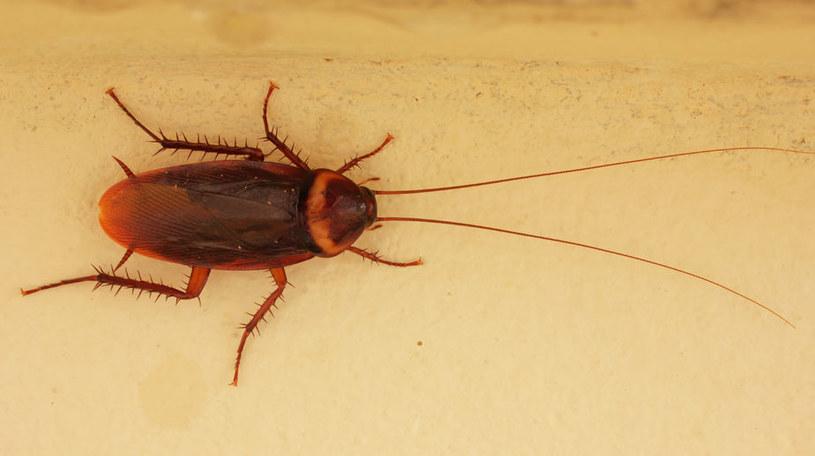 Komputery wewnątrz karaluchów - przyszłość nanotechnologii? /123RF/PICSEL