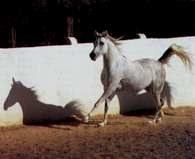 Koń czystej krwi arabskiej /Encyklopedia Internautica