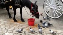 Koń, który dzieli się jedzeniem z gołębiami
