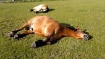 Konie też chrapią! Jak wygląda drzemka w ich wykonaniu?