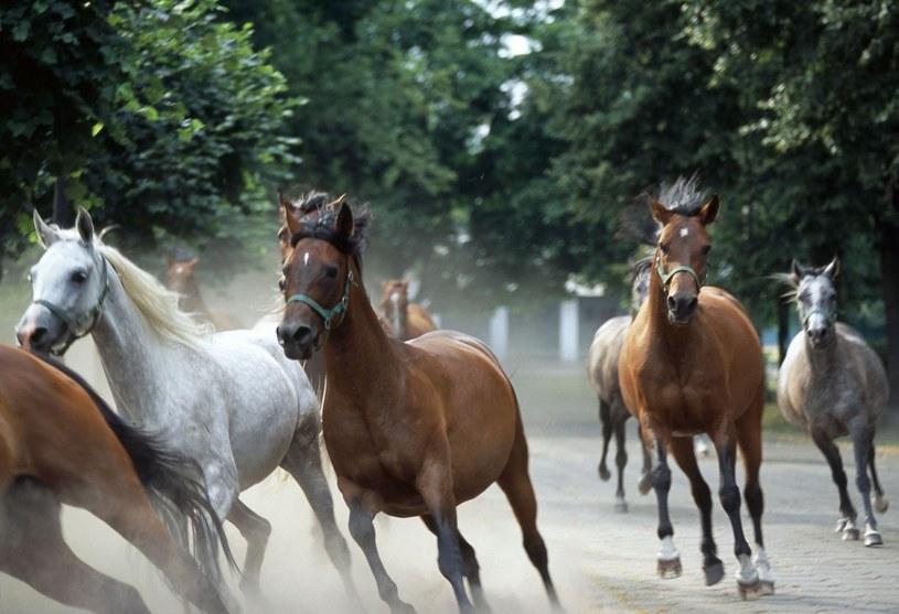 Konie w stadninie w Janowie Podlaskim /Borys Czonkow /East News