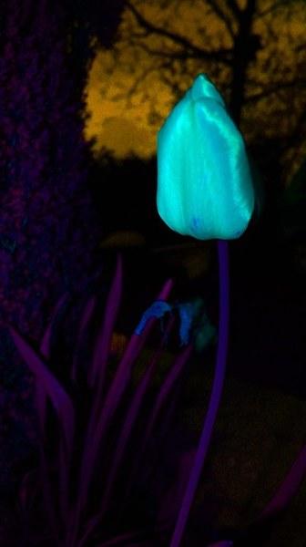 Tulipan w blasku majowego księżyca ...