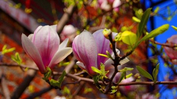 Magnolia w maju to cud natury