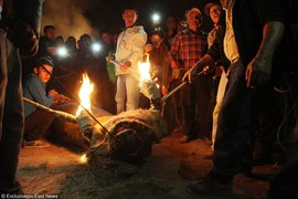 Kontrowersyjne święto. Podpalają rogi żywym zwierzętom