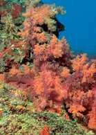 Koralowce /Encyklopedia Internautica