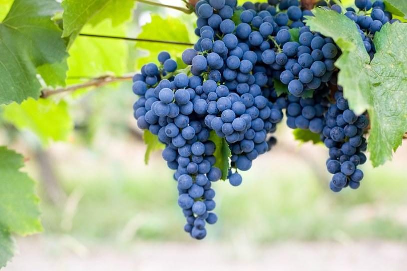 Kosmetyki z winogronami świetnie ujędrniają skórę /123/RF PICSEL