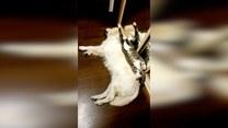Kot, który traktuje psa jak legowisko