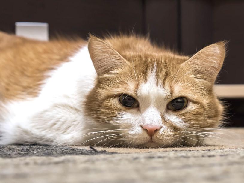 Kot nie wymiauczy ci swoich dolegliwości. Musisz bacznie go obserwować /123RF/PICSEL