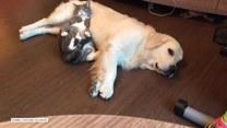 Kot wykorzystujący psa jako poduszkę