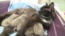Kotka karmiąca gromadę małych osieroconych jeży