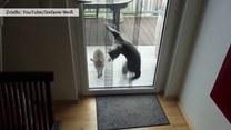 Kotka usiłuje sforsować drzwi tarasowe