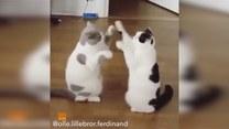 Koty, które uwielbiają grać w łapki