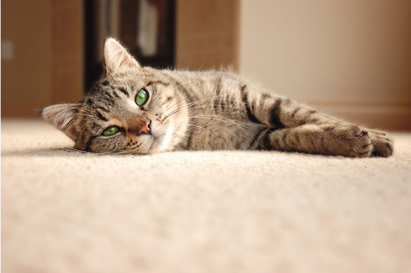 Koty są bardzo wrażliwe /©123RF/PICSEL