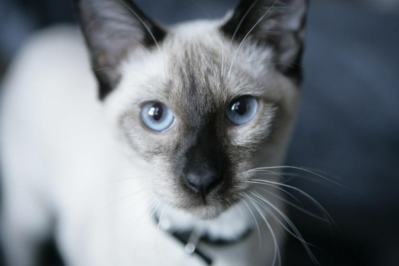 Koty także wolą używać prawej lub lewej łapy /© Glowimages