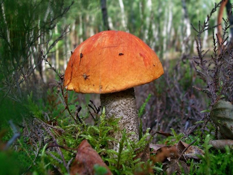 Koźlarz czerwony /123/RF PICSEL