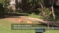 Kozy na gigancie. Policyjny pościg za zwierzętami