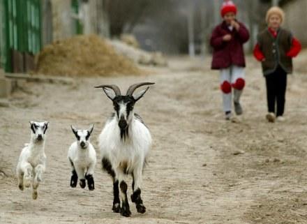 Kozy trenują przed kolejnym biegiem? /AFP