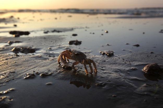 Kraby można jeść albo... budować z nich komputery /AFP